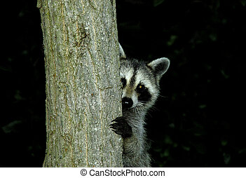Raccoon - Photo of a Raccoon