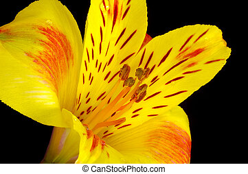 Yellow Lilly - Photo of a Yellow Lilly