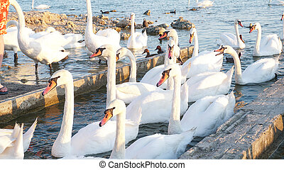 Photo of beautiful swans on the lake at sunset.
