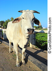 indian white cow