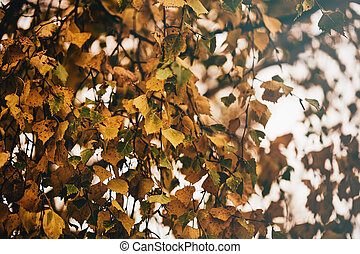 Photo of birch leaves on a tree. Golden autumn. Sky background.