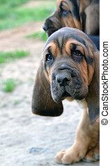Photo of Bloodhound puppy dog with sad hound look