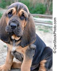 Photo of Bloodhound puppy dog