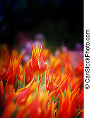 Photo of bright fiery tulips