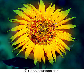 Photo of bright macro sunflower