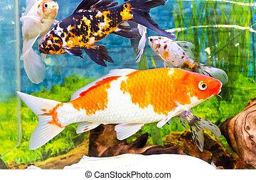 Cyprinus carpio koi in aquarium - Photo of fish Cyprinus ...