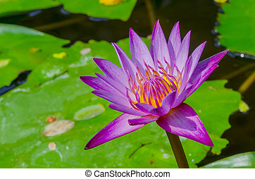 Photo of fresh lotus Beauty in nature