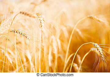 Photo of fresh wheat in field
