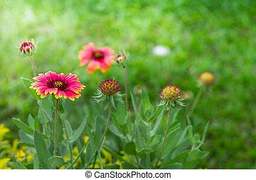 Photo Of Gaillardia Pulchella Flower In Gardent