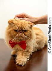 Photo of ginger cat in red bow tie sitting