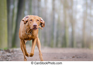 Photo of hungarian flying hunter dog in autumn time