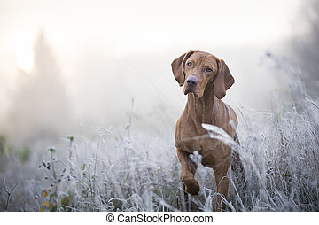 Hungarian hound dog in freezy winter time