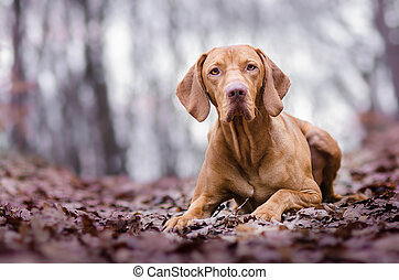 Photo of hungarian hunter dog in autumn time