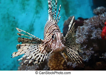 Lionfish (Pterois mombasae) - Photo of Lionfish (Pterois ...