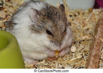 Photo of little gray and white laboratory mouses. hamster