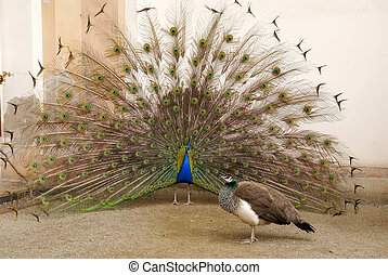 photo of Male peacock tail spread tail-feathers are put peahen