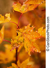 Photo of maple leaves on a tree. Golden autumn. Bright red, yellow, orange background.