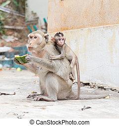 Monkey eating watermelon