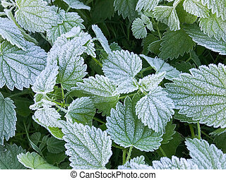 Photo of nettle leaves covered with hoarfrost