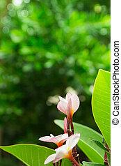 Pink plumeria flowers on green grass background
