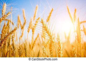 Photo of ripe wheat in field