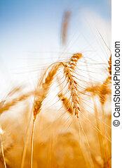 Photo of ripe wheat spike in field