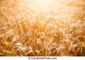 Photo of ripe wheat spikes in field