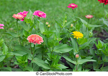 Side view Zinnia violacea on blur background texture