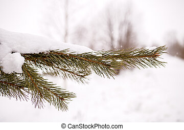 Photo of spruce branches in winter forest