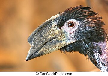 Photo of the bird with dark magic eye looking to you. Head of the Trumpeter Hornbill (Bycanistes Businator)