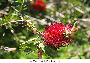 Bottlebrush Flower - Photo of the Bottlebrush Flower (...