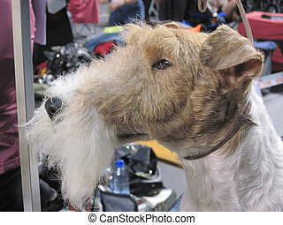 Photo of the classical (standard) head Wire Fox Terrier. -...