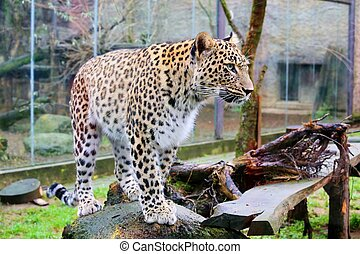 leopard - photo of the leopard ( panthera pardus saxicolor )