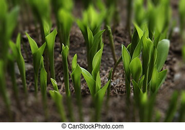 Photo of the small sprout of corn