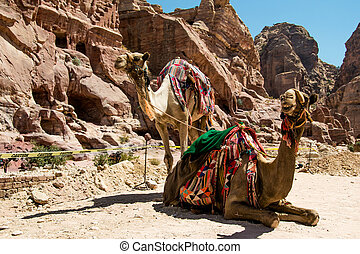 Two bedouin camels rests near caves. Summer vacation, eco...