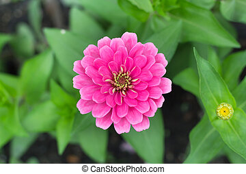 Top view pink Zinnia violacea on blur background texture
