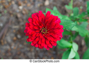 Top view red Zinnia violacea on blur background texture