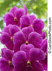 Vanda orchid on blur background