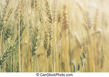 Photo of wheat field at sunrise with soft focus filter