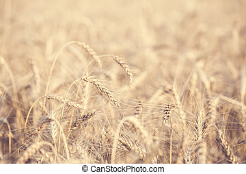 Photo of wheat field in summer afternoon