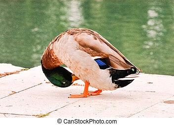 Water Bird Duck - Photo Picture of a Beautiful Water Bird ...