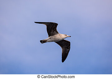 Seagull Water Bird Animal - Photo Picture of a Seagull Water...