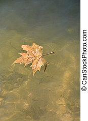 Single Maple Leaf Floating,