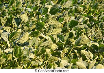 Soy Bean Plant Field