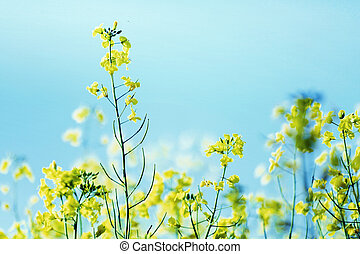 Photo presenting field of canola