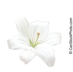 Photo-realistic Beautiful White Lily Isolated On White Background