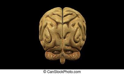 Photo-realistic brain animation