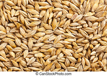 barley grain - photo shot of barley grain