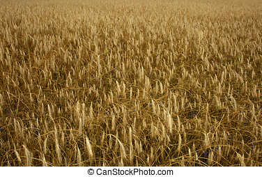 Photograph of a field of oats ears close in summer