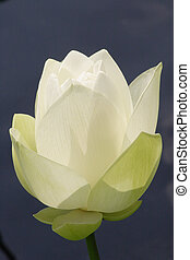 Lotus Flower - Photograph of a large Lotus Flower with its ...